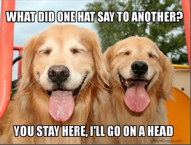 Buy on a postcard! http://www.zazzle.com/funny_golden_retriever_hat_joke_meme_postcard-239720877746821771?rf=238723483809835767