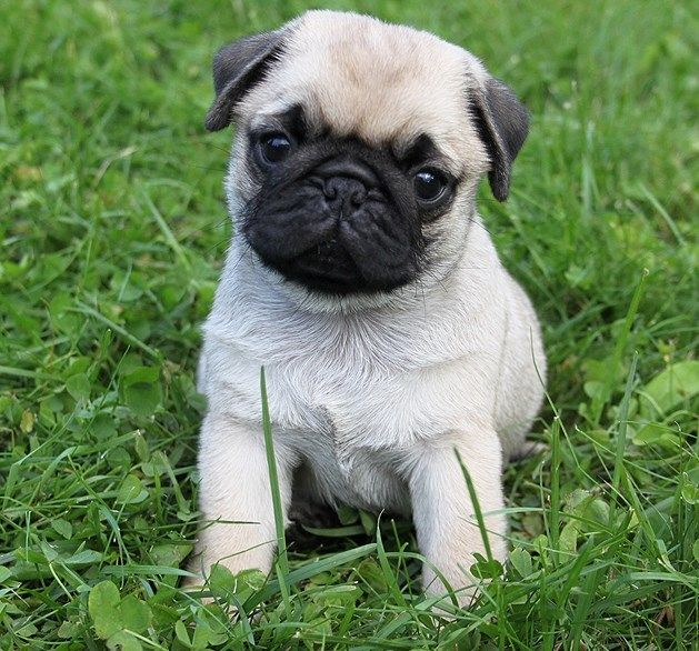 Cute Pug Puppy Cute Pug Puppies Pinterest In