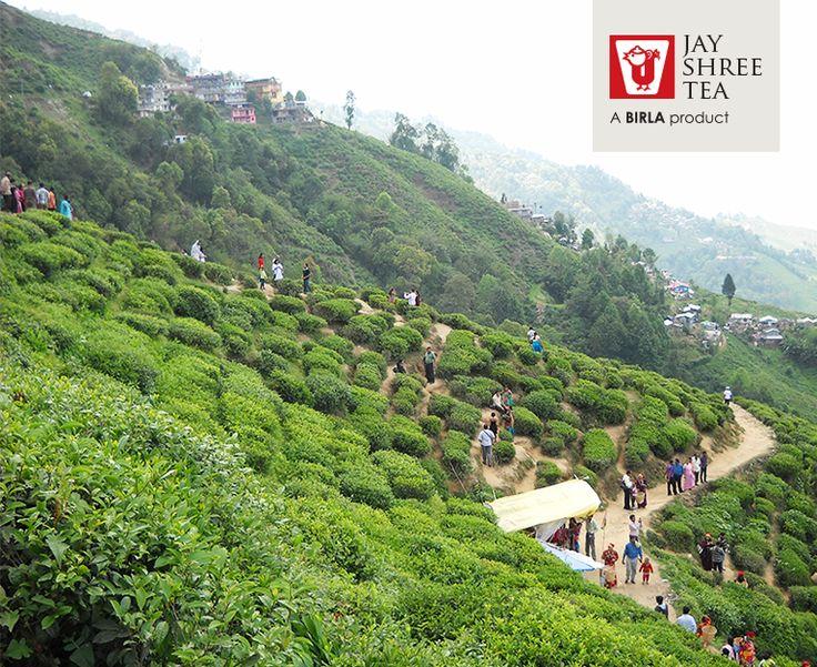 3 Days On A Tea Farm In Darjeeling,India.Read On #TeaTrending
