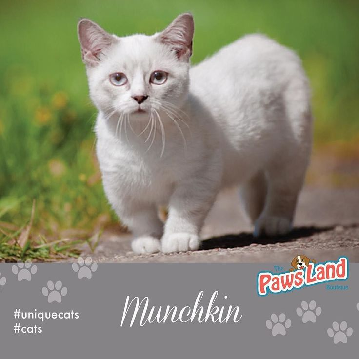Munchkins clearly get their name for their short legs. These adorable little kitties get their unique look from a genetic mutation that causes dwarfism. In fact short-legged cats have popped up in every breed here and there for years. It wasnt until recently that breeders started looking to create a #Munchkin breed. #cats #uniquecats #meowformation