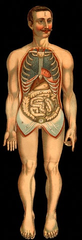 447 best anatomical ii images on pinterest planks anatomy art and 19th century chromolithograph illustration of the internal organs of a man from the new ccuart Choice Image