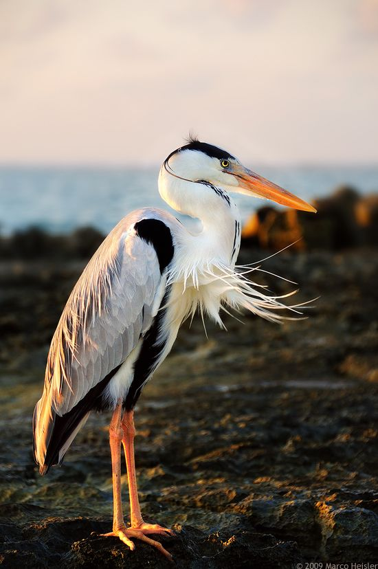 Herons have always been my favourite birds. They'd make an awesome tattoo!