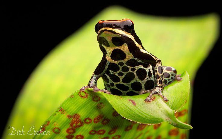 14 best images about Ranitomeya uakarii, Uakari Poison ... Poisonous Green Frogs Of North Carolina