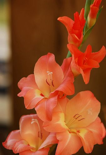 Gladiolas -one of Augusts' birth month flowers ... this picture would make a cool tattoo to continue my partial sleeve ... ha ha, yah right !!