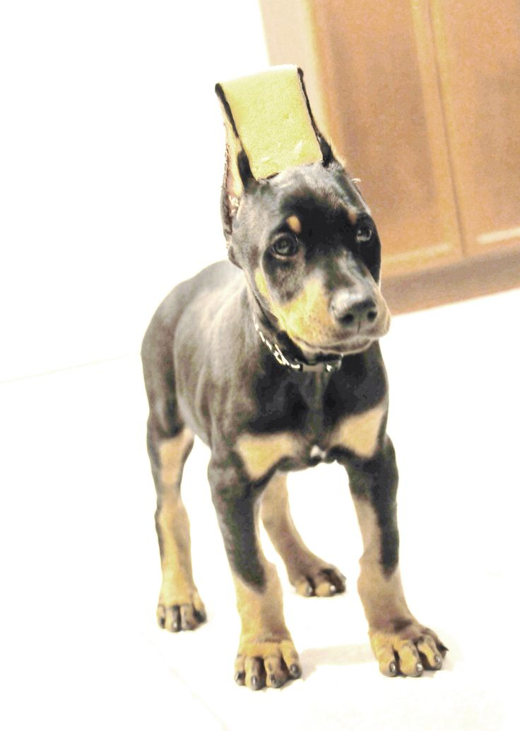 I want to get a doberman for christmas?