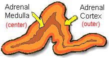 Adrenal has central medulla, and outer cortex.