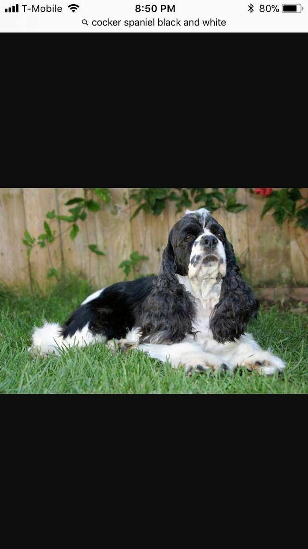 Cocker Spaniel dog for Adoption in Rosenberg, TX. ADN-712170 on PuppyFinder.com Gender: Male. Age: Adult