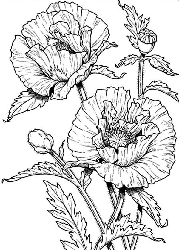 Poppy Coloring Pages   ... Poppy Coloring Page: Beautiful California Poppy Coloring PageFull Size