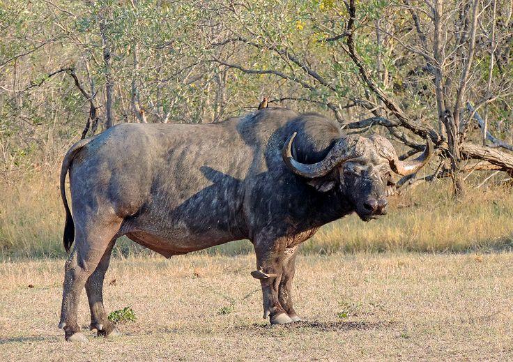 búfalo cafre (Syncerus caffer) Bufalo cafre o búfalo africano (Syncerus caffer) Kruger (Sudáfrica)