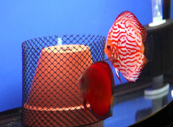 Protect the eggs your discus fish lay with a (DIY) covered ...