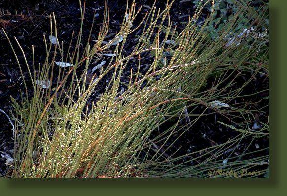 Mormon Tea: Ephedraceae Ephedra viridis