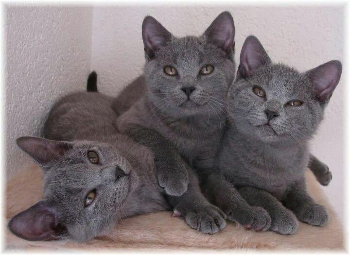 Cute Chartreux kittens