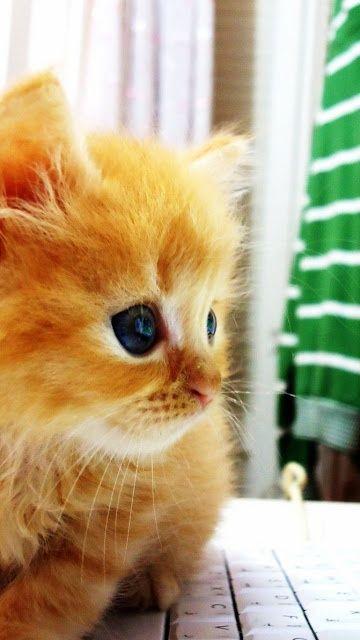 Small kitten using laptops