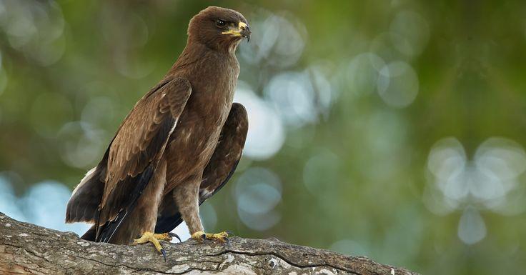 Whalberg's Eagle