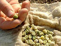 Pěstování zeleniny z vlastních semen: která a jak sklízet?