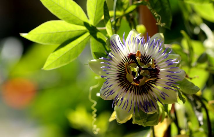 https://flic.kr/p/sAeHFC | Passion Flower | Passiflora
