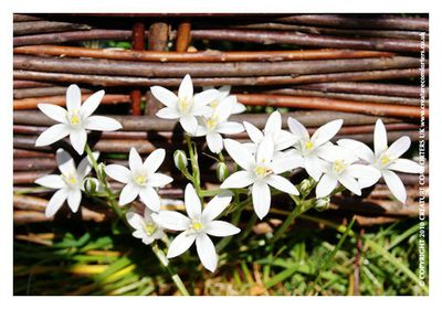 Star of Bethlehem Bach Flower Remedy for traumas and distress - Creature…