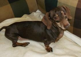 RUDY is an adoptable Dachshund Dog in Georgetown, KY. RUDY is a chocolate mini dachshund that is great with other dogs...He is gentle and loving and meets people well.  Needs a firm hand on his houseb...