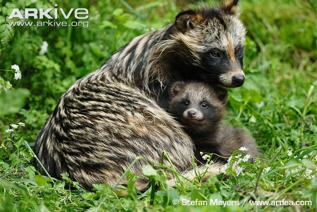 Female raccoon dog with young - The raccoon dog is named for its resemblance to the raccoon (Procyon lotor), to which it is not closely related.