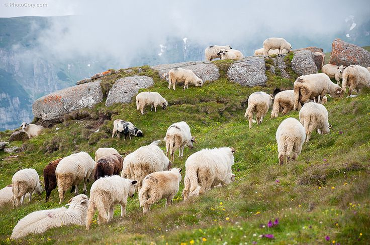 Sheep in Bucegi Mountains, Romania