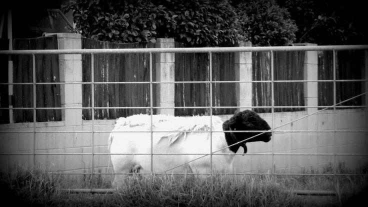 Sheep Opunake New Zealand