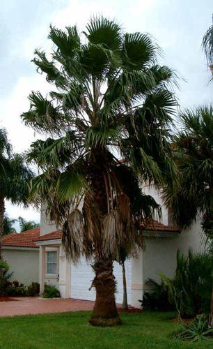 10 Best Washingtonia Robusta Images On Pinterest Palms