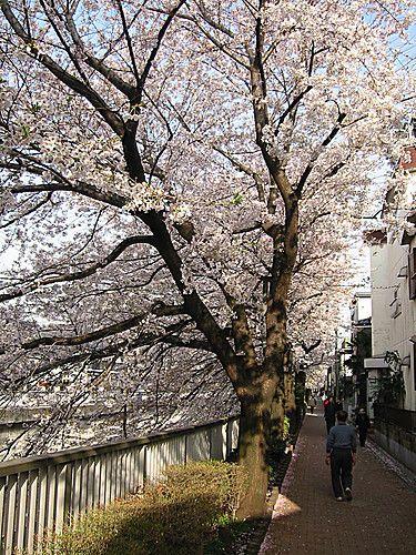 sakura at sakuradai Heiwadai