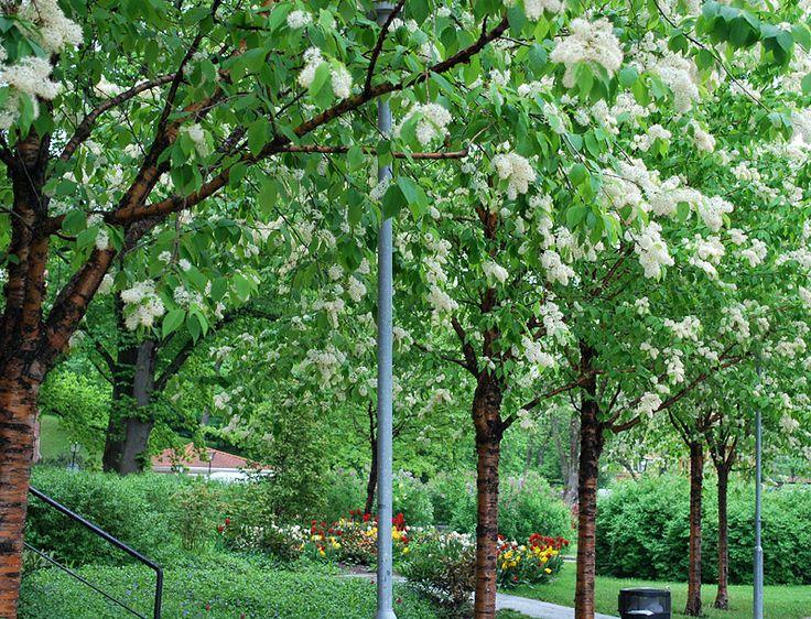 Näverhägg - Prunus maackii