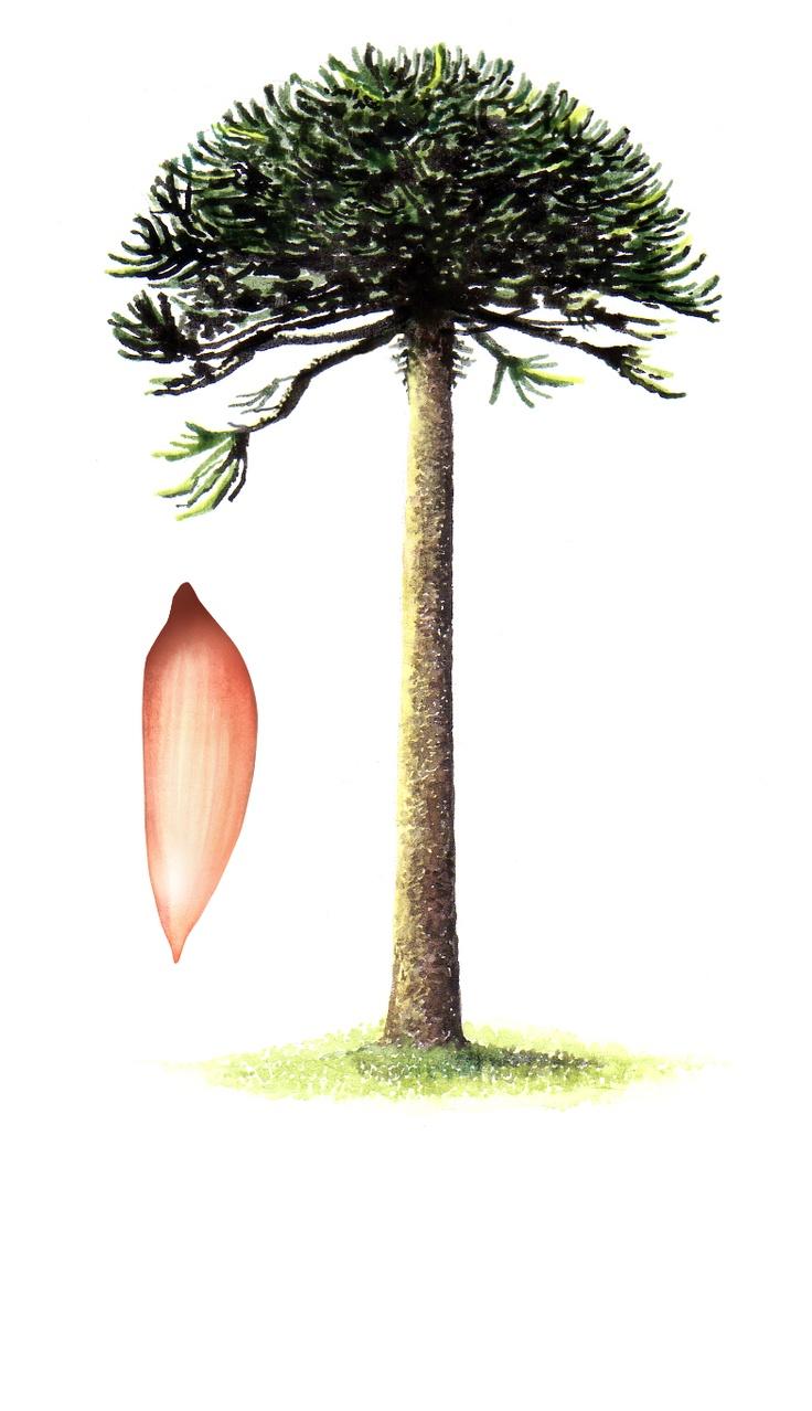 Ilustración de araucaria hecha por Marisol abarca para
