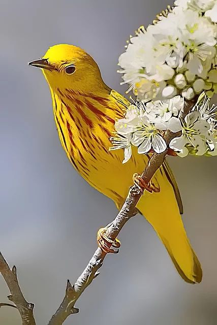 Exotic Birds - SUCH A MAGNIFIQUE SHADE OF YELLOW & SUCH A TINY LITTLE 'FELLOW!!'