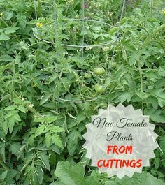 Tomato plants are super easy to propogate from cuttings. They root quickly too. See how I did it: http://thegardeningcook.com/propagating-tomato-plants-with-cuttings/