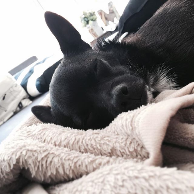 ▽ むうの鼻の辺りにある白い筋。 これ、汚れでも傷でもなく、白い毛が生えてるから。 . 脚の爪も、左前脚と左後ろ脚で一本ずつ白くてあとは黒。 不思議〜 .. ... #愛犬 #わんこ #ポメラニアン #チワワ #テリア #いぬら部 #犬バカ部 #わんこなしでは生きていけません会 #海外生活 #オーストラリア #メルボルン #instapet #instadog #petsagram #dog #puppy #pomeranian  #chihuahua #pomchi #terrior #dogsofmelbourne #dogsofig