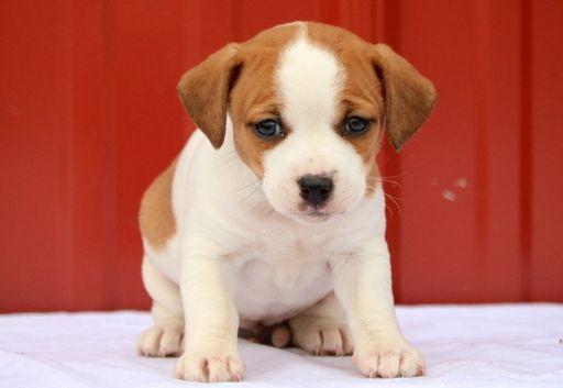 Jack A Bee Puppy For Sale In Mount Joy Pa Adn 64704 On Puppyfinder