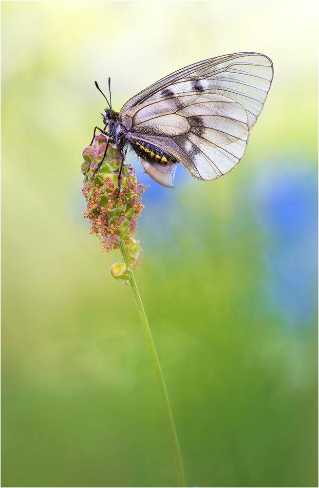 Schwarze Apollo Dame Schmetterling Libellen Insekten