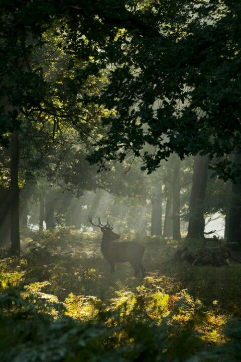 Enchanted forest ruled over by the Ent King who, by day, turns into a handsome stag that patrols the forest for signs of sorcery  magic....