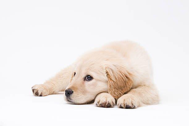Labrador Average Weight Time For Labradorpuppiesaucklandnz