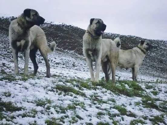 Türk Çoban Köpekleri-Karabaş