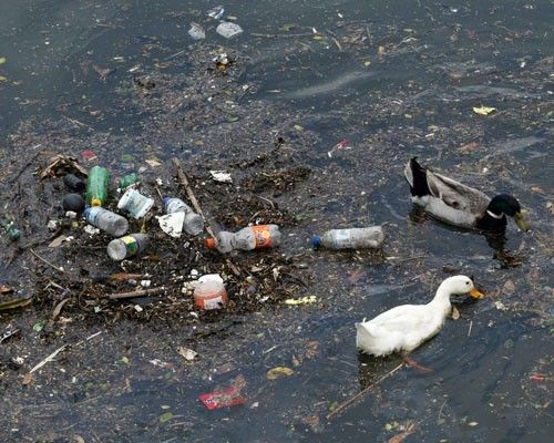 ducks swimming in plastic polluted lake