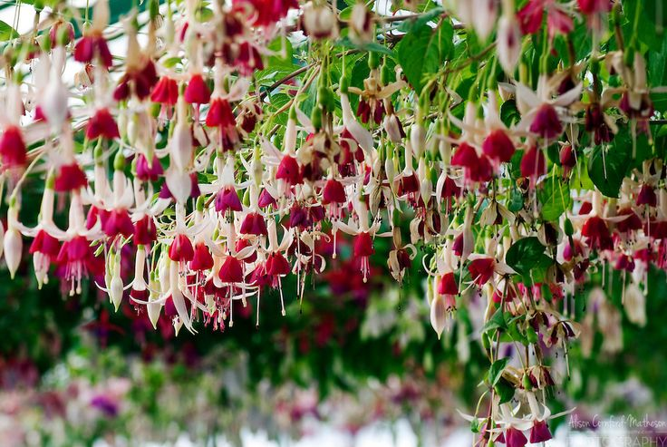 Fuchsias hang from the ceiling of the Royal Greenhouse of Belgium.