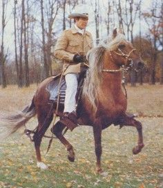 This is a Peruvian Paso Horse - specifically an old photo of one of the greats, Mantequilla.  The Peruvian is an ultra smooth gaited horse often touted as the Cadillac of horses.