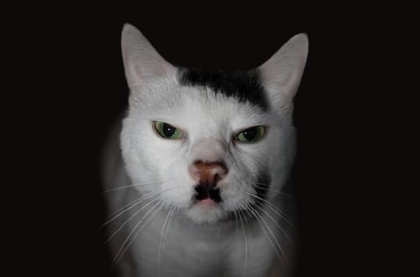 animaux a moustache insolite 3 chat   Animaux à moustache... insolite   singe photo otarie oiseau moustache image chien chat: