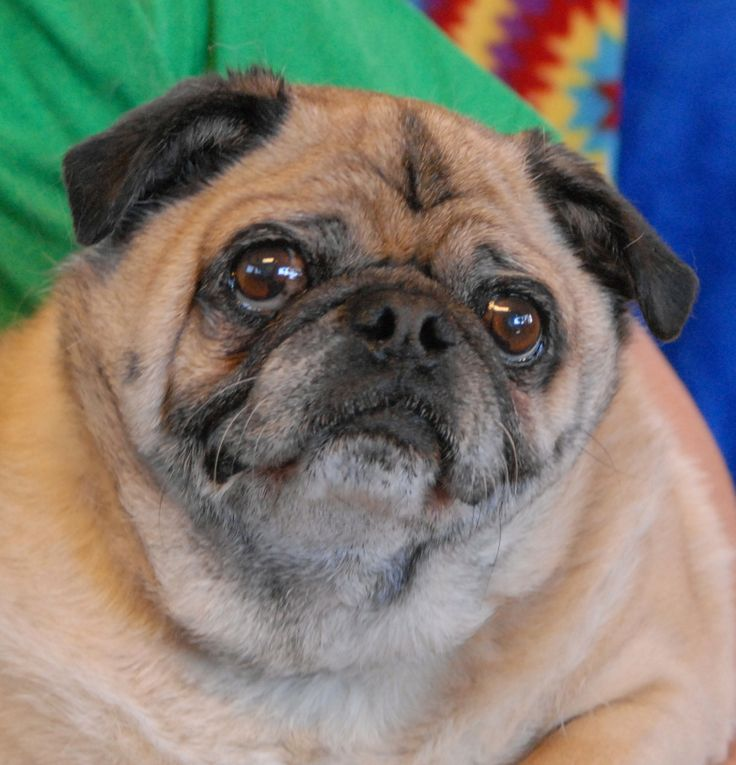 35 best Fat Pug images on Pinterest | Fat pug, Pets and ...