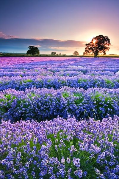 fields of lavender in the French countryside...