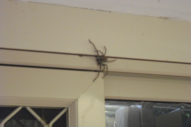 Huntsman Spider - In Australia - cannot find these in the USA!