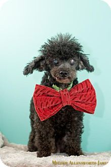 West Orange, NJ - Poodle (Miniature). Meet Pierre a Dog for Adoption.