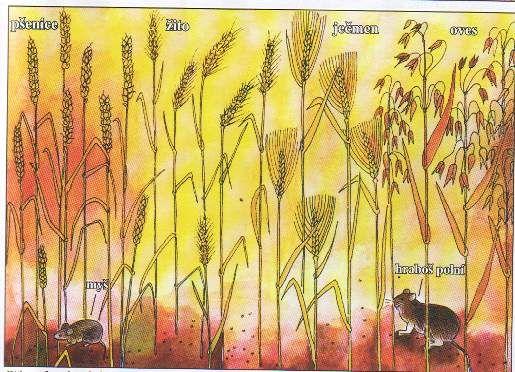 druhy obilí