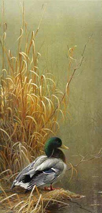 Robert Bateman In His Prime Mallard.  El ánade real o azulón es una especie de ave anseriforme de la familia Anatidae. Es un pato de superficie muy común y extendido por el hemisferio norte. Habita áreas de temperatura templada de Norteamérica, Europa, Asia y el norte de África. Wikipedia Nombre científico: Anas platyrhynchos