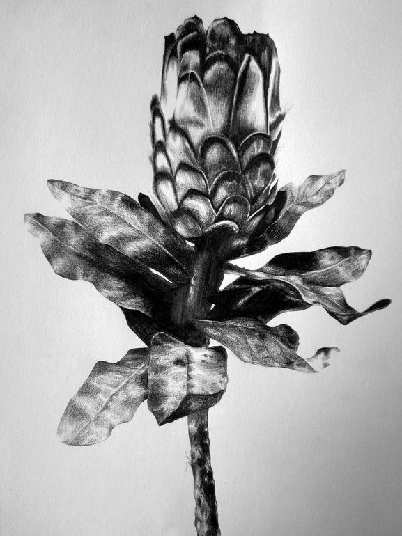 """Saatchi Online Artist: Ira van der Merwe; Pencil, 2013, Drawing """"Protea Study II"""""""