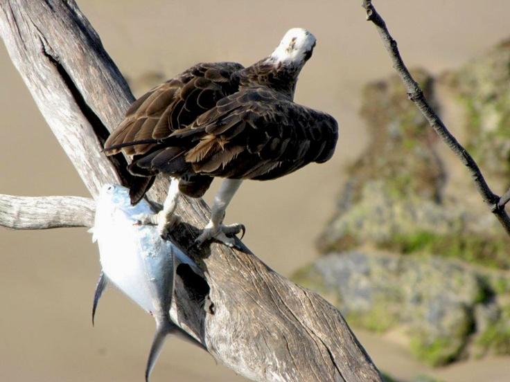 Eagle fishing, Byron Bay, NSW