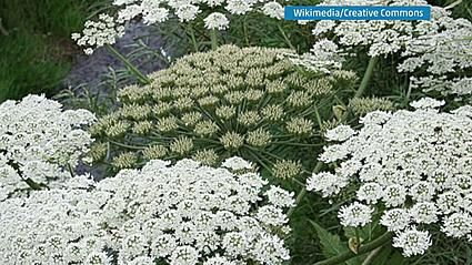 After Touching THIS Plant, She Got A Dangerous Rash On Her Body. Check To See If It's In Your Area | American Overlook